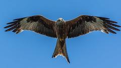 The Wings of an Angel (davidrhall1234) Tags: bird birds raptor birdsofprey redkite rspb birdsofbritain