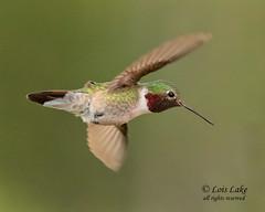 Quick Change of Direction (lake1432) Tags: hummingbird flight birdinflight gorgette broadtailedhummingbird