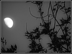 Moon Shot May 27, 2015 - Black & White Photo Taken by STEVEN CHATEAUNEUF - Some High Definition Was Added On July 12, 2015 (snc145) Tags: trees sky moon nature night outdoors evening photo scenery glow nighttime highdefinition bloom moonlight soe moonshot autofocus theunforgettablepictures simplysuperb flickrunitedaward stevenchateauneuf may272015 july122015