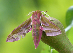 Small Elephant Hawk Moth. Deilephila porcellus (gailhampshire) Tags: elephant hawk small moth porcellus deilephila taxonomy:binomial=deilephilaporcellus
