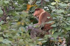 Nasique (mbriola) Tags: mammal monkey wildlife malaysia borneo bako singe mammifre malaisie probocis nasique endmique nasalis larvatus briola
