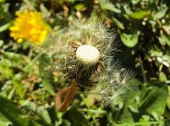 Diente de Len (Ana_1965_2010) Tags: naturaleza macro nature closeup natur seed natura dandelion seeds makro taraxacum pusteblume taraxacumofficinale macrofotografia dientedeleon makrofotografie fotografiadenaturaleza