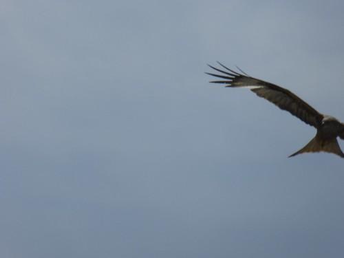 Bird of Prey over Walchwil
