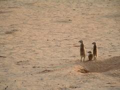 Meerkats in Kgalagadi NP