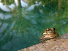 quak (maramillo) Tags: maramillo frog 2ndchancechallenge small water rana frosch otr challengegamewinner ttw showbizsweepwinner walkoffame walkoffameawardwinner transcendingphotoofthequarter beanstalk thumbsup unanimous cy friendlychallenges