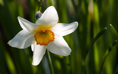 Daffodil (axelkr) Tags: wallpaper flower background widescreen 1920x1200 1610 1440x900 1680x1050 1024x640 1280x800 2560x1600 3200x2000 2048x1280 3600x2250