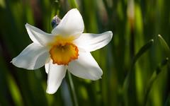 Daffodil (axelkr) Tags: wallpaper flower background widescreen 1920x1200 1610 1440x900 1680x1050 1024x640 1280x800 2560x1600 3200x2000 2048x1280 3600x2250