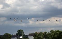 Travelling (Yvonne L Sweden) Tags: sky cloud travelling birds flying geese sweden outdoor himmel goose fglar moln gss reser flyger vingker
