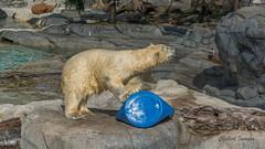 Polar Bear (Chilled Photography Australia) Tags: polarbear seaworld flickrelite chilledimages
