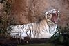 Loro Parque: White bengal tiger (Jasmine'sCamera) Tags: loroparque loro parque animal animals flora fauna tenerife white bengal tiger whitetiger cat bigcat