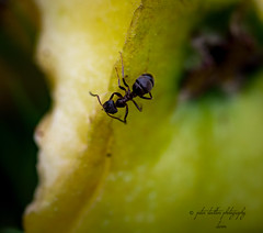 ant (kapper22) Tags: ant plant small