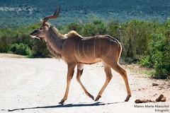 Male Kudu walking by, Southafrica (marcomariamarcolini) Tags: marcomariamarcolini nikon nikkor africa southafrica krueger park daylight wow nature wildlife innature nocages fly run walk safari digital colorful male kudu horns gazelle woods openair frozen move movement