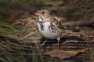 Harris's  Sparrow. Non Breeding Adult