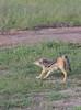 IMGP9917b (Micano2008) Tags: kenia africa pentax parquenacional masaimara mamifero chacaldelomonegro canismesomelas