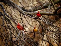 Northern Cardinals (jwfuqua-photography) Tags: jwfuquaphotography birds jerrywfuqua nature pennsylvania peacevalleynaturecenter buckscounty cardinals
