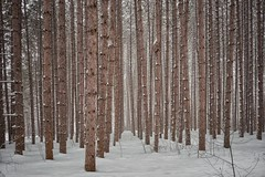 Stand of trees in the snow. (seyDoggy) Tags: snow pine forest muskoka sherwoodinn cottagecountry