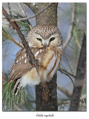 """Petite nyctale / Northern Saw-Whet Owl""""153A7823 (salmo52) Tags: oiseaux birds salmo52 alaincharette petitenyctale northernsawwhetowl birdofprey oiseaudeproie aegoliusacadicus victoriaville"""