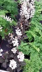 Erdorchideen (helgchenD) Tags: erdorchidee blume farn