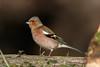 _F0A8344.jpg (Kico Lopez) Tags: fringillacoelebs galicia lugo miño pinzóncomún spain aves birds rio