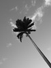 Palm (Ren-s) Tags: arbre tree palm palmtree palmier réunion island île océanindien indianocean noiretblanc blackandwhite exterieur outside outdoor sky ciel leaves feuilles minimalist minimalism france dom oversea diagonal clouds nuages tronc bois wood trunk nature plage beach
