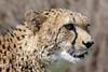 Ein Besuch im Zoo (dervonderwaterkant) Tags: tiere animals geparden vögel nilpferde zoologischergarten köln