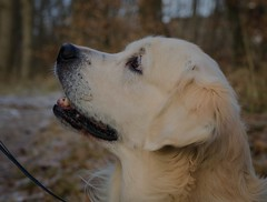 Golden retriever (frankmh) Tags: animal dog goldenretriever hittarp helsingborg skåne sweden outdoor winter