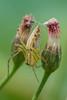 Spider (Padmika Gunawardhane) Tags: canon7d closeup creative macro 70200 usm f4 srilanka asia artistic garden backyard blur spider flower kenko extension tubes