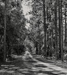 Stephen prospered in his time, well he may and he may decline (Kathryn Louise18) Tags: canon kathrynlouise landscape blackandwhite bw nature florida charlesbronsonstateforest trees road lane monochrome roberthunterlyrics gratefuldeadlyrics
