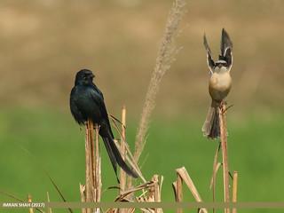Black Drongo (Dicrurus macrocercus) & Long-tailed Shrike (Lanius schach)