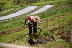 IMG_4383 (FelipeDiazCelery) Tags: indonesia bali asia arroz rice ricefields composdearroz agricultura griculture wrok worker trabajdor granjero granja farm farmer