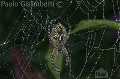 Ragno crociato (Araneus diadematus), Cross Orbweaver (paolo.gislimberti) Tags: macro animaliambientati animalsintheirenvironments ragnatela cobweb arachnids aracnidi ragni spiders rugiada dew goccedirugiada dewdrops