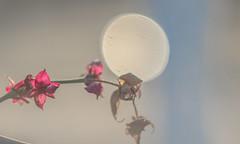 (C-47) Tags: flowers helios 442 canon eos 7d mk mark ii m42 bokeh green plant nature colors painting tableau focus dreamscape dreams soft light