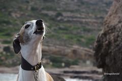Singing Leon (farahleon) Tags: leon galgo galgoespanol lasnegras andalusia