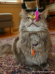 Breeze and a feathery present, 2 Jun 15 (Castaway in Scotland) Tags: birthday blue pet cute animal cat silver grey scotland gray maine adorable east coon lothian musselburgh
