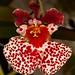Tolumnia hybrid – Nico Goosens