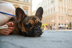 May 07 / Hamish's Big Day Out (Lindsay_NYC) Tags: budapest frenchie frenchbulldog hamish day158 day158365 365the2015edition 3652015 7jun15