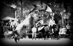 De ganadas y perdidas (Eduardo Amorim) Tags: brazil horses horse southamerica brasil criollo caballo cheval caballos cavalos pelotas pferde cavalli cavallo cavalo gauchos pferd riograndedosul pampa hest hevonen campanha brsil chevaux gaucho  amricadosul fronteira hst gacho  amriquedusud  gachos  sudamrica suramrica amricadelsur  sdamerika crioulo caballoscriollos criollos jineteada   costadoce americadelsud gineteada  crioulos cavalocrioulo americameridionale caballocriollo eduardoamorim cavaloscrioulos