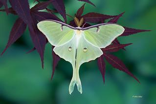 Luna Moth - Male