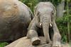 Ravi (K.Verhulst) Tags: elephant ravi elephants emmen noorderdierenpark olifanten dierentuinemmen asiaticelephants aziatischeolifanten