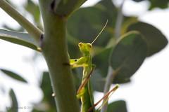 Born to Kill (ironmember) Tags: macro foglie backlight nikon killer tamron controluce insetto nascosto mimetismo d90 allaperto mantidereligiosa occultato
