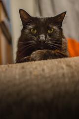 Judicial (spencer_r_allen) Tags: cat 35mm blackcat nikon feline cardboard nikkor f18 dslr mortimer housecat scratchingpost d7100