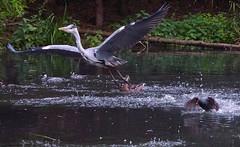 @4 Entertainment Over (paulinuk99999 - tripods are for wimps :)) Tags: summer heron grey none dusk july ducks ducklings wetlands mallard barnes wwt protecting flotilla 2015 paulinuk99999 sal70400g