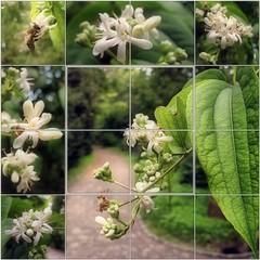 Seven Sons Tree (Tlgyesi Kata) Tags: animal insect blossom mosaic bee fragrant mozaik vcrtt rovar mh botanikuskert sevensonflower heptacodium vcrttibotanikuskert withcanonpowershota620 sevensonstree heptacodiummiconioides htfivirgcserje