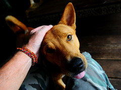 ,, Stand by Me ,, (Jon in Thailand) Tags: dog tongue nose happy eyes nikon hand tail rocky ears whiskers jungle nikkor k9 d300 175528 woodplanks thelittledoglaughed abandonedabusedstreetdogs littledoglaughedstories
