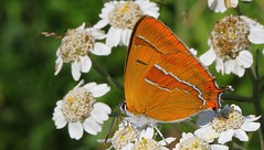 Brown Hairstreak - Thecla betulae 080815 (2) (Richard Collier - Wildlife and Travel Photography) Tags: wildlife ngc butterflies insects naturalhistory british thecla britishinsect betulae brownhairstreaktheclabetulae