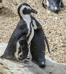 Penguins (sabrinafennphotography) Tags: bird love nature beautiful animal zoo penguin nikon couple outdoor whipsnade d7000