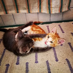 IMG_20150810_025733 (augusto.beccaro) Tags: cats animals puppy puppies felini gatti fightforfun