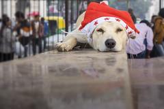 :) (ShikharF8) Tags: shikharsharma shikharsharmaphotography shikharf8 shikharf8in christmas dog streetdog delhi india holidays red hohoho reflection fujifilm fujixt10 fujinon27mm fujinon