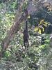 IMG_9132 (dstylebda) Tags: colonpanama gatunlake tamarins howlermonkeys sloth