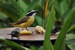 Social Flycatcher (Mosqero cejiblanco) (patricktrujillophotography.com) Tags: birds feeding socialflycatcher puertojimenezinn puertojimenez corcovadonationalpark puntarenasprovince costaric